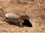 If a desert tortoise burrow was discovered, it meant either moving the work site or calling in a biologist. (Credit: Jack Goldfarb)<br />